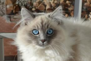 Disappearance alert Cat  Female , 2 years Luxembourg Luxembourg